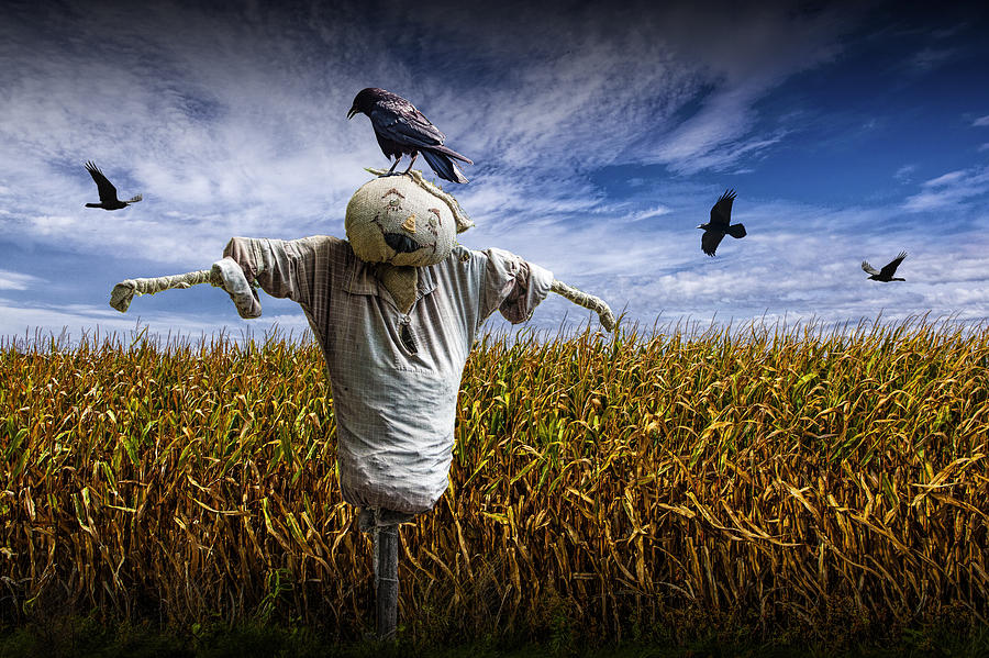 scarecrow with black crows over a cornfield photograph by randall nyhof