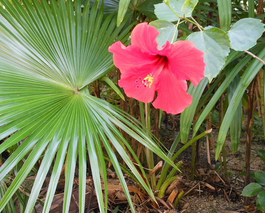 Hibiscus Photograph - Scarlet Hibiscus by Kay Gilley