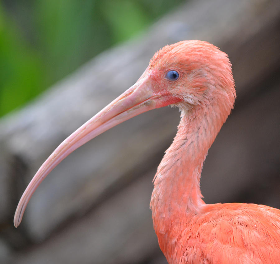 Ibis Photograph - Scarlet Ibis 1 by Richard Bryce and Family