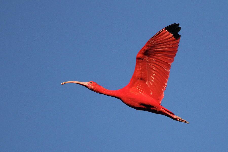 Trinidad And Tobago Photograph - Scarlet Ibis by Copyright Faraaz Abdool/hector De Corazón