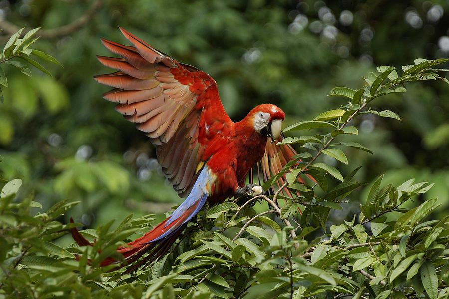 Scarlet Macaw Costa Rica Photograph by Hiroya Minakuchi
