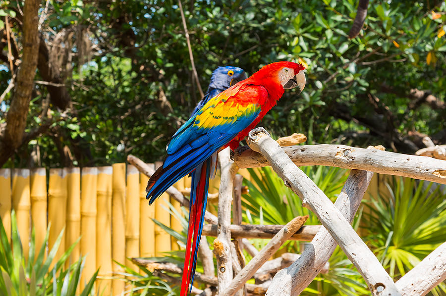 Adorable Photograph - Scarlet Macaw by John M Bailey