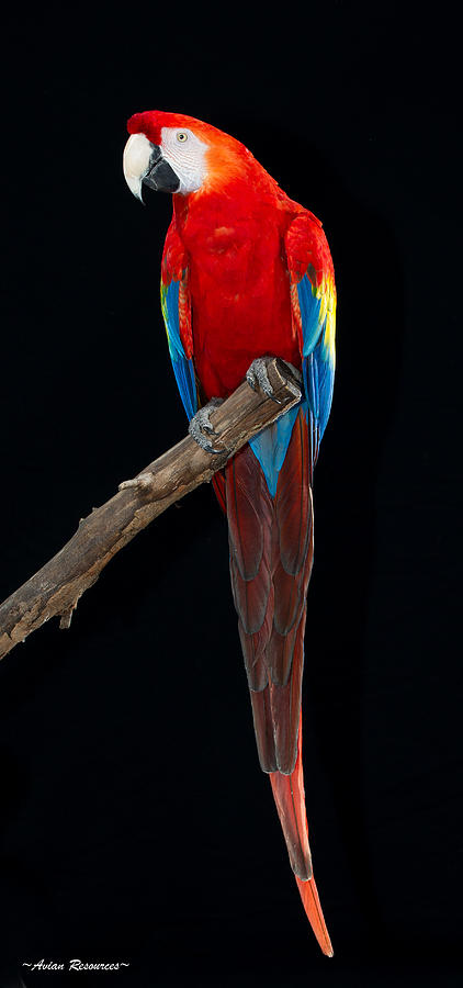 Scarlet Macaw on Black 2 by Avian Resources