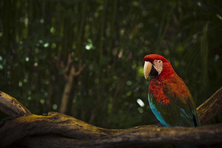 Scarlet Macaw Profile by Bradley R Youngberg