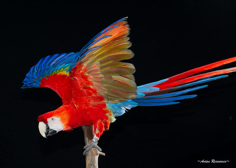 Scarlet Macaw Wings 2 by Avian Resources