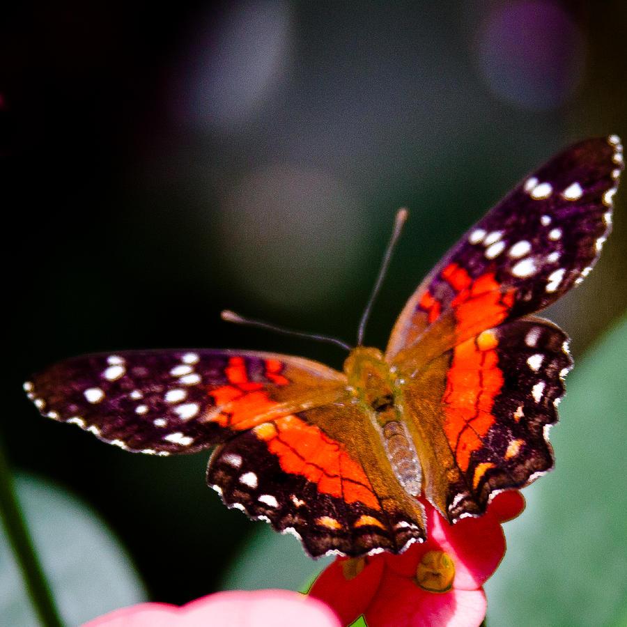 Anartia Amathea Photograph - Scarlet Peacock Butterfly - Anartia amathea by David Patterson