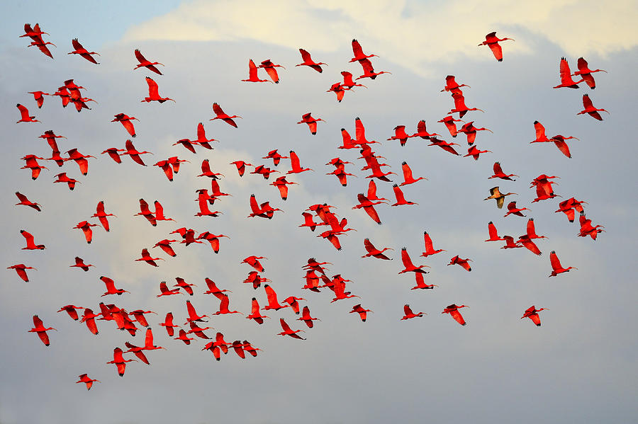 Scarlet Ibis Photograph - Scarlet Sky by Tony Beck