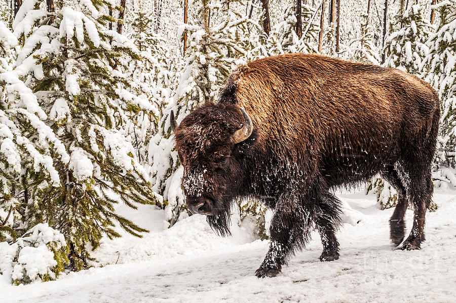 American Bison Photograph - Scary Bison by Sue Smith