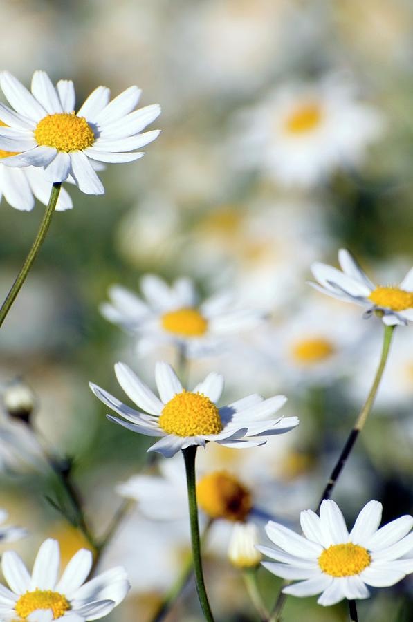 Wild Chamomile Photograph - Scentless Mayweed (matricaria Maritima) by Dr. John Brackenbury/science Photo Library