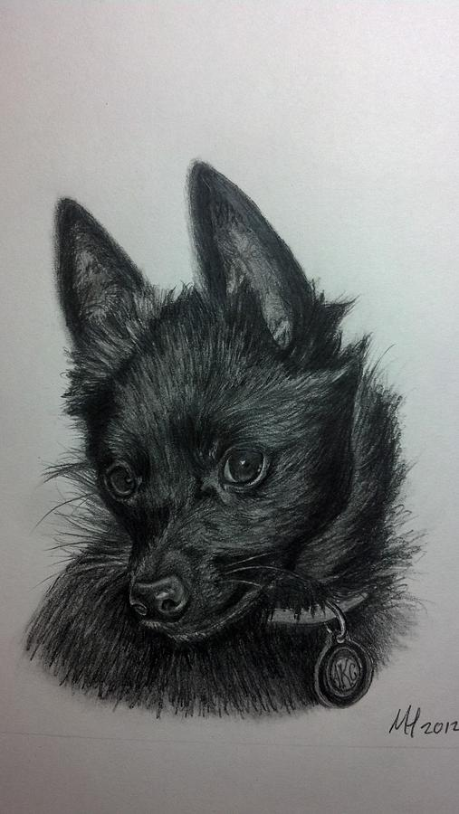 Dog Drawing - Schipperke by Michelle Harrington