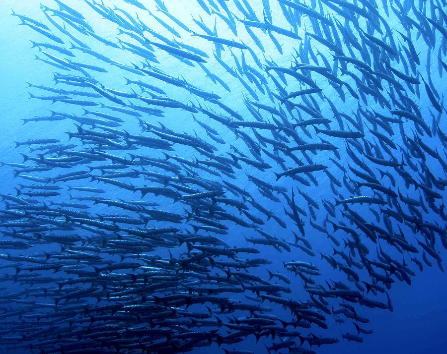 Scuba Diving Photograph - School Day by Paula Marie deBaleau