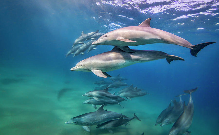 School Of Bottlenose Dolphins Tursiops Photograph by Peter Pinnock