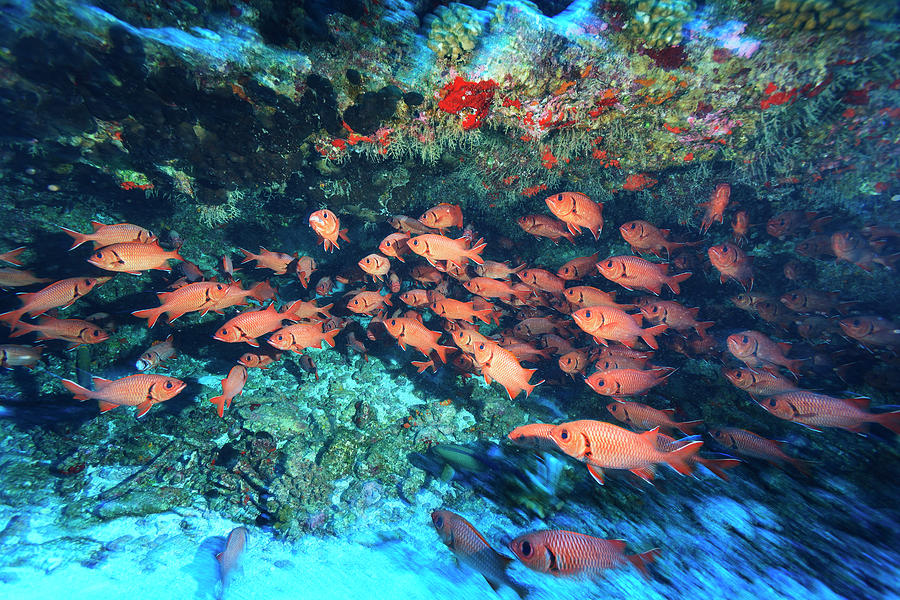 Schooling Soldierfish Myriprisis Sp Photograph by Stuart Westmorland / Design Pics