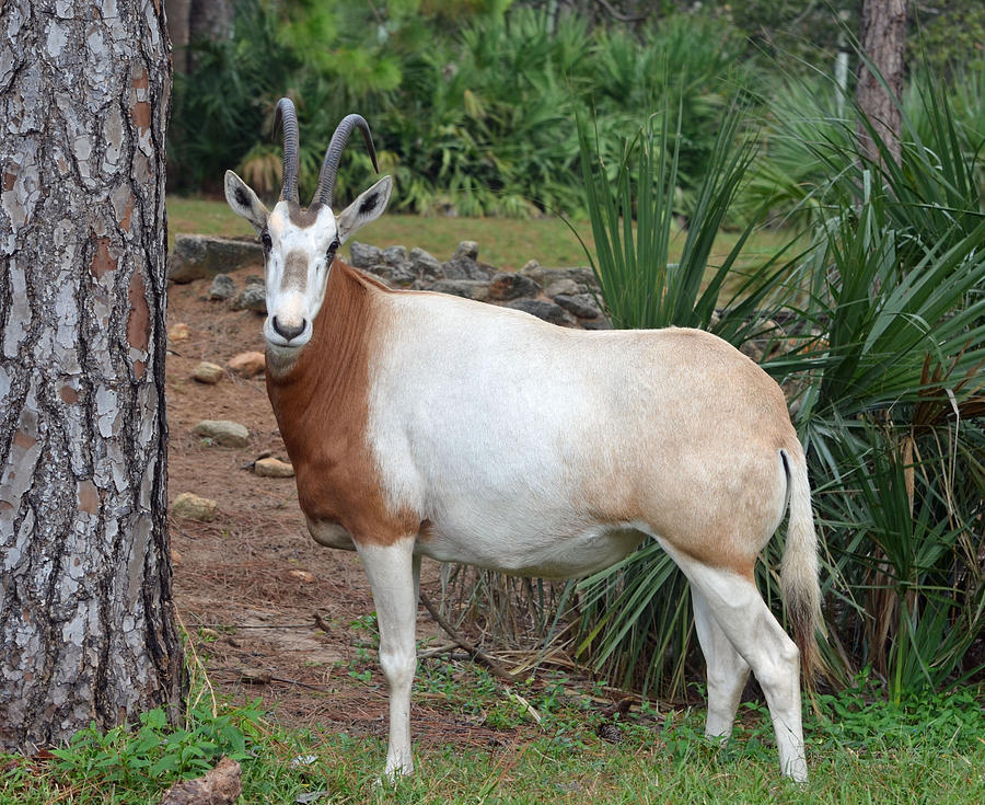 Oryx Photograph - Scimitar Horned Oryx by Richard Bryce and Family