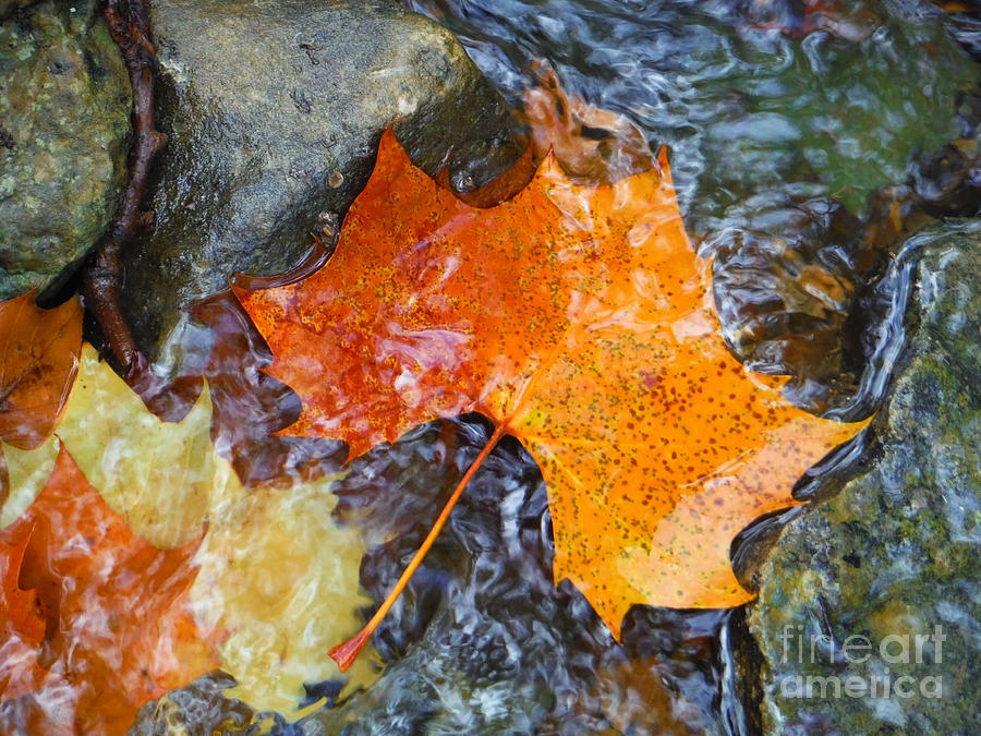 Autumn Leaves Photograph - Scioto River Leaves Series 1 by Paddy Shaffer