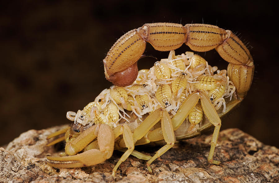 Scorpion Mother Carrying Her Brood Photograph by Ingo Arndt