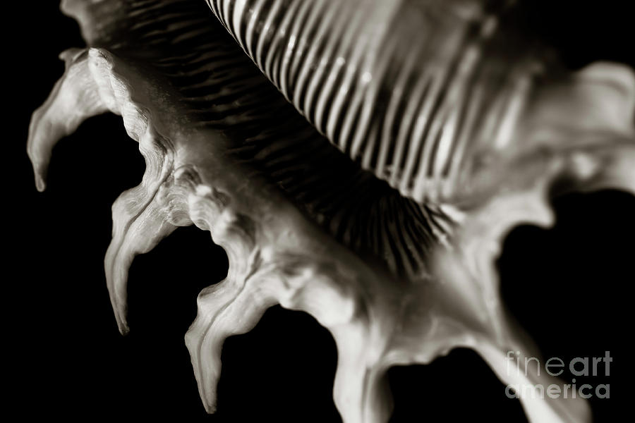 Close-up Photograph - Scorpion Spider Conch Shell by Charmian Vistaunet