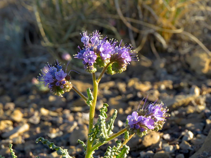 Chaco Photograph - Scorpionweed by Feva  Fotos