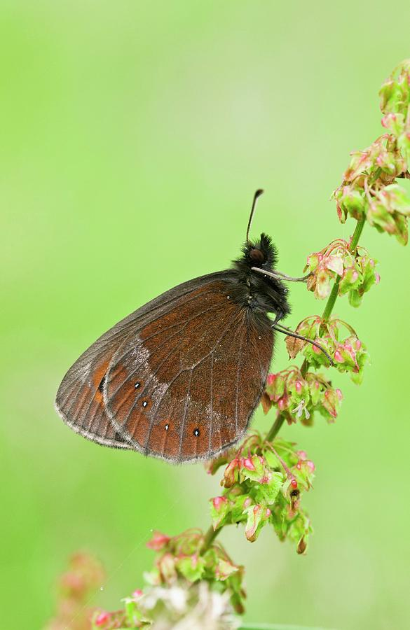 Nobody Photograph - Scotch Argus Butterfly On A Dock Plant by Bob Gibbons