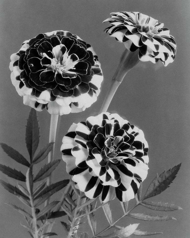 Scotch-stripe Marigolds Photograph by J. Horace McFarland