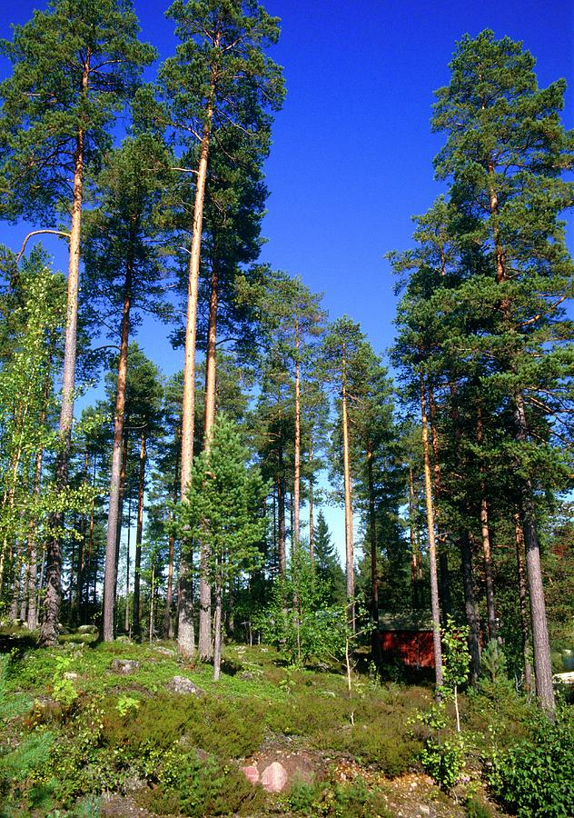 Forest Photograph - Scots Pine Forest by Andrew Brown/science Photo Library