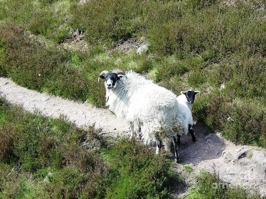 scottish blackface ewe and lamb photograph by ross sharp