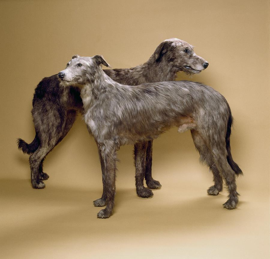 Scottish Deerhound Photograph - Scottish Deerhounds, Stuffed Specimens by Science Photo Library