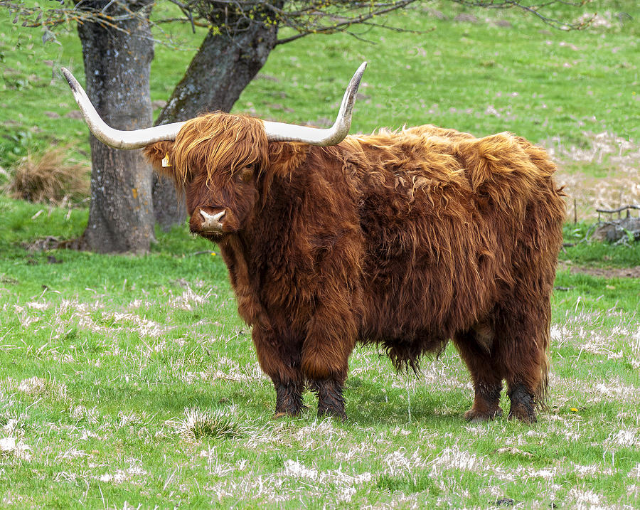 Scottish Highland Cattle - 4 Photograph by Paul Cannon