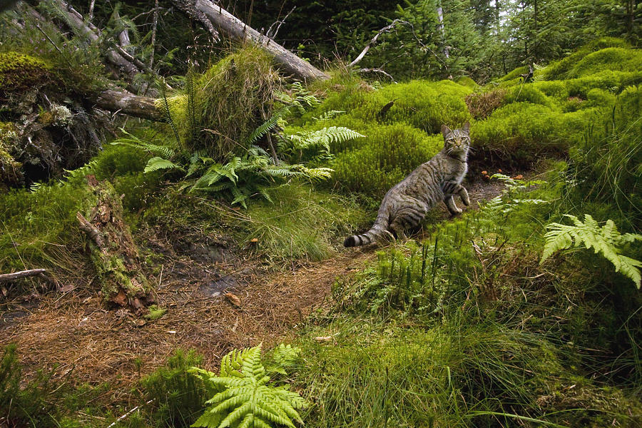 Scottish Wildcat And Domestic Cat Photograph by Sebastian Kennerknecht