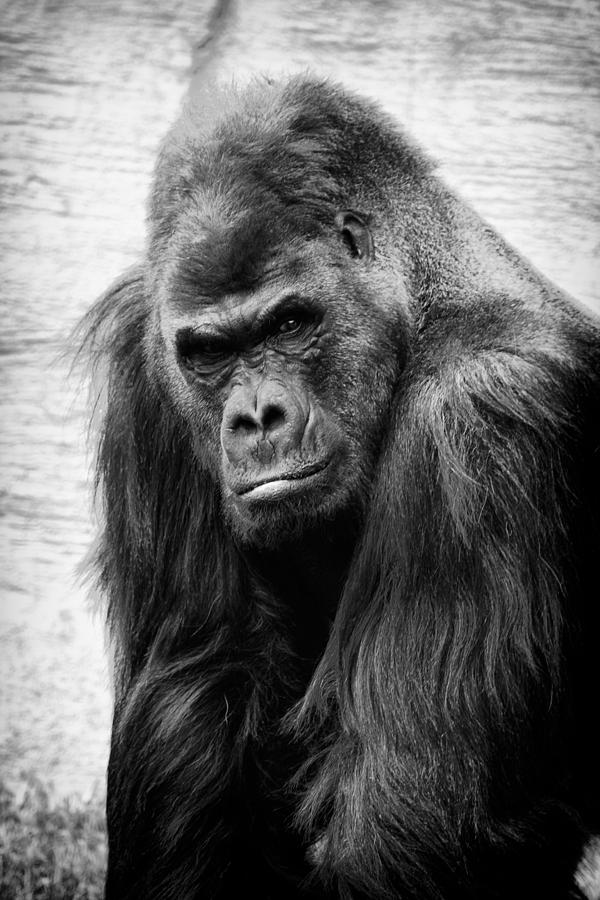 Gorilla Photograph - Scowling gorilla by Goyo Ambrosio