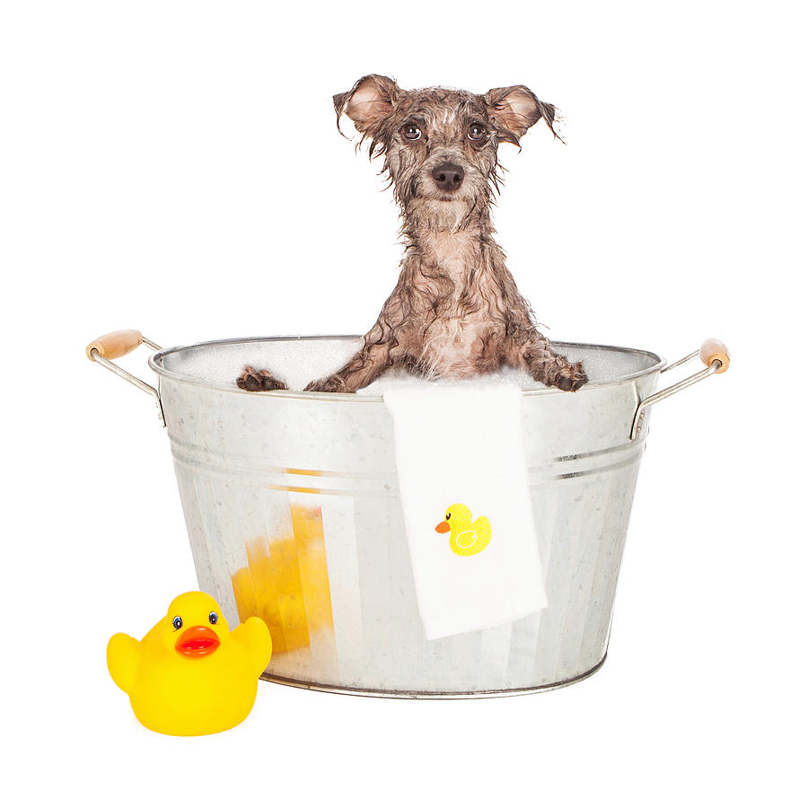 Dog Photograph - Scruffy Terrier In A Bath Tub by Susan Schmitz