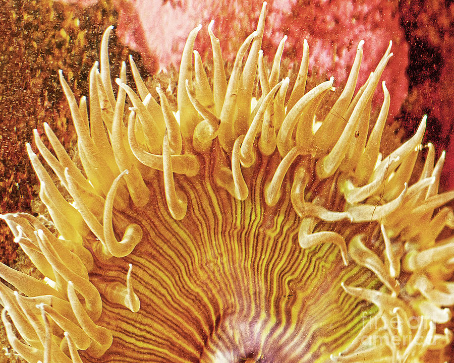 Ocean Art Photograph - Sea Anenome Stretch by Artist and Photographer Laura Wrede