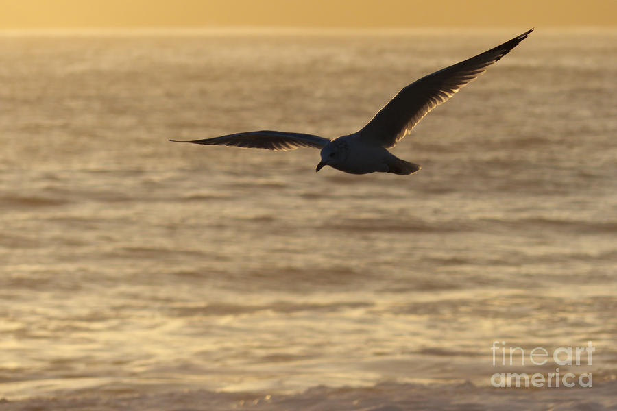 Sea Photograph - Sea Bird In Flight by Paul Topp