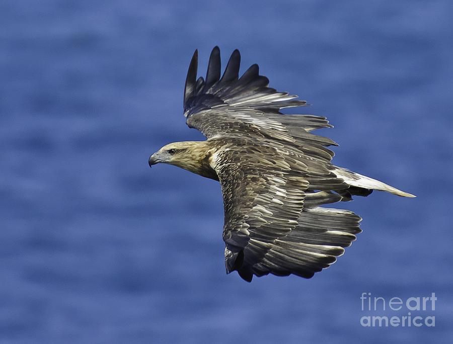 Sea Eagle Photograph - Sea Eagle  by Michael  Nau