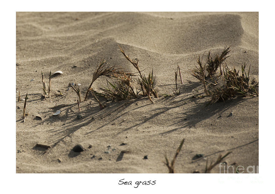 Sea Grass In The Sand Photograph - Sea Grass by Artist and Photographer Laura Wrede