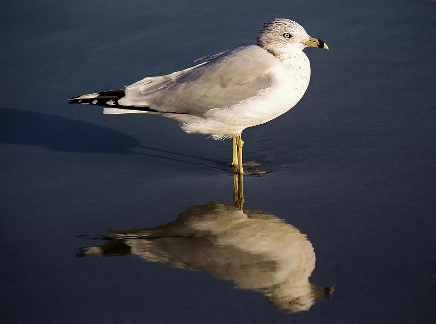 Sea Gull Photograph - Sea Gull Reflection by Paulette Thomas