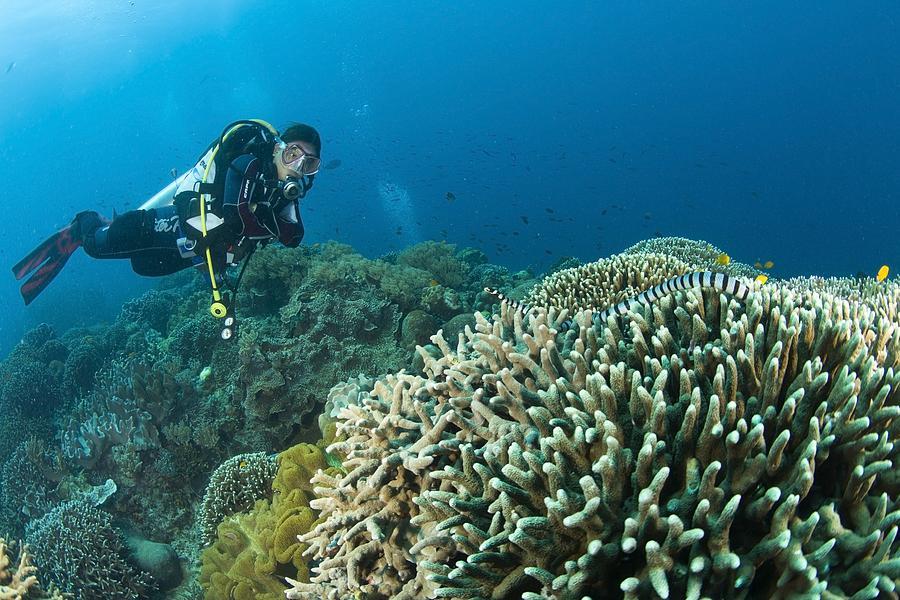 Sea Krait And Scuba Diver, Apo Island Photograph