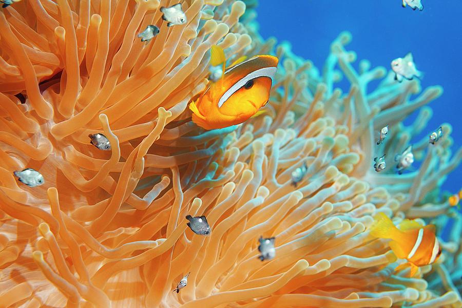 Sea Life - Anemone  Clownfish Photograph by Ultramarinfoto