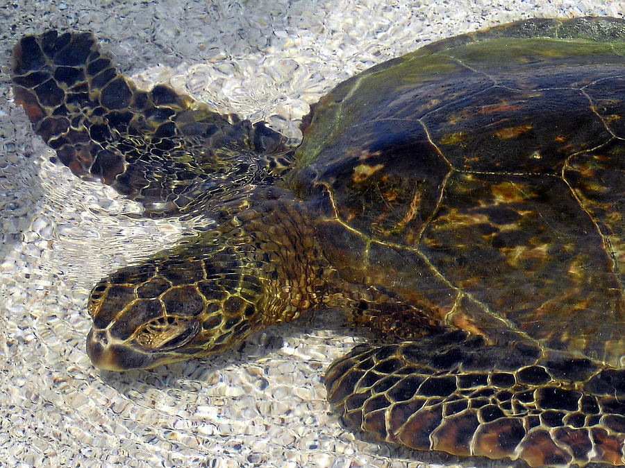 Turtle Photograph - Sea Life by Athala Bruckner
