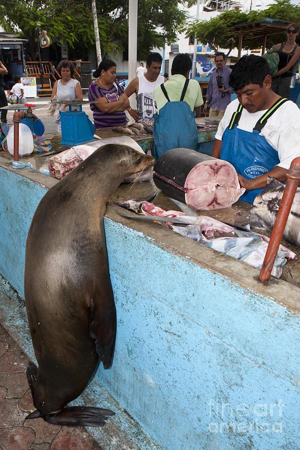 Sea Lion At The Fish Market Galapagos Photograph