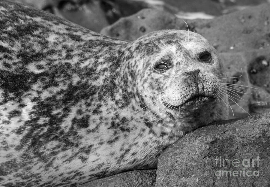 Sea Lion Photograph - Sea Lion Stare In Monochrome by Darleen Stry