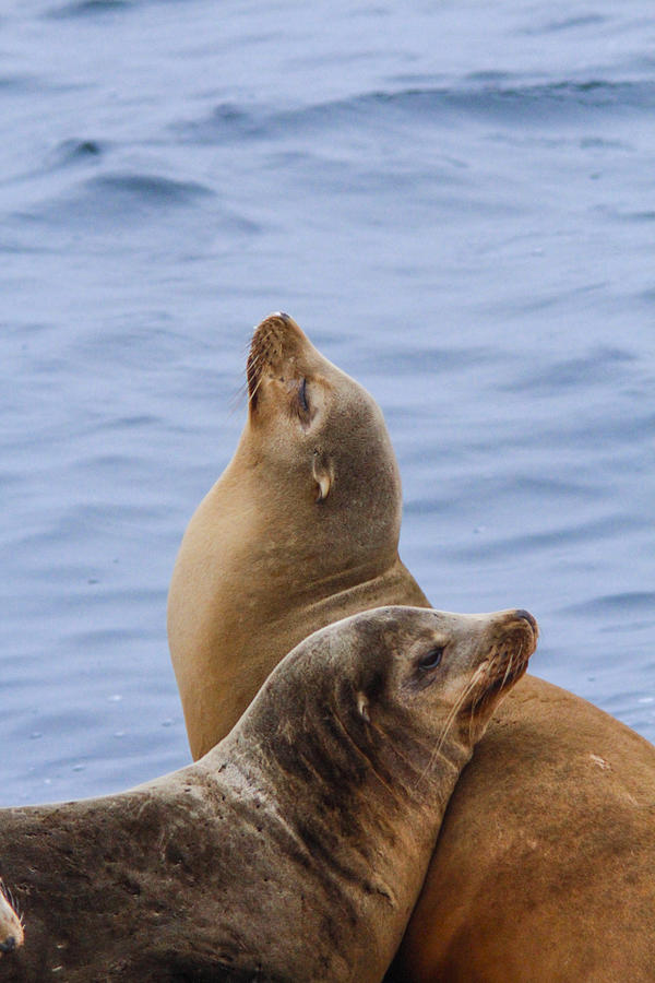Sea Lions Photograph - Sea Lions by Jill Bell