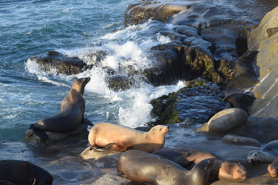 Sea Lions On The Rocks Photograph