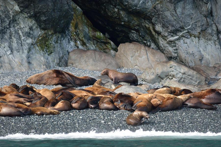 Sea Photograph - Sea Lions On The Sea Shore by Patricia Twardzik