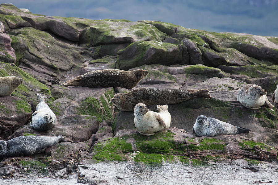 Sea Lions Sitting On The Rock At The Photograph by John Short / Design Pics