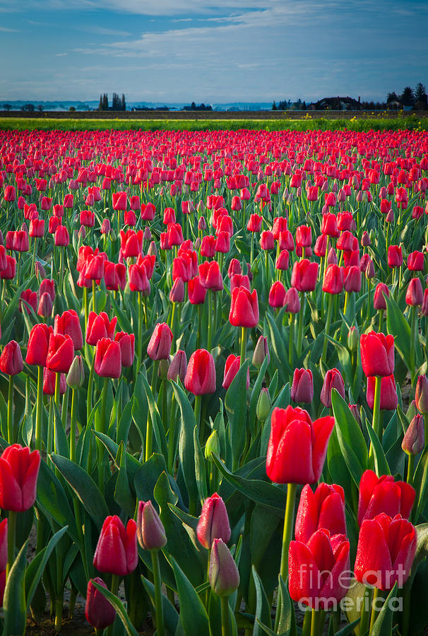 America Photograph - Sea Of Red Tulips by Inge Johnsson