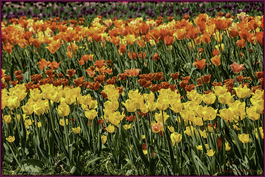 Usa Photograph - Sea Of Tulips by LeeAnn McLaneGoetz McLaneGoetzStudioLLCcom