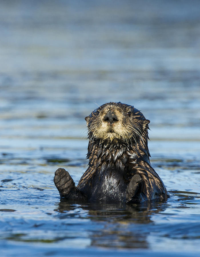 Sea otter (Enhydra lutris) Photograph by Josh Miller Photography