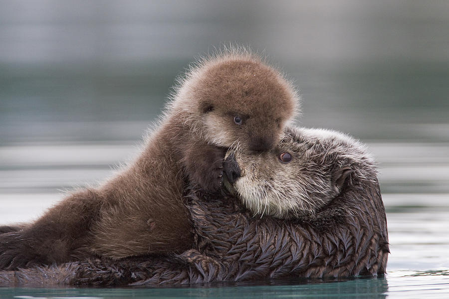Should Alaskan sea otters be kept on the endangered species list?