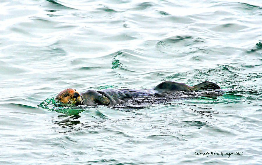 Otter Photograph - Sea Otter In Northern Cali by Rebecca Adams
